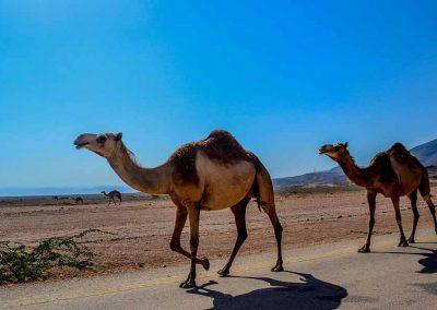 Kamele im Oman: Perfektes Abetuer bei einem Urlaub im Oktober